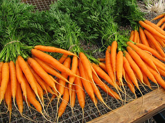 Freshly harvested Nelson carrots