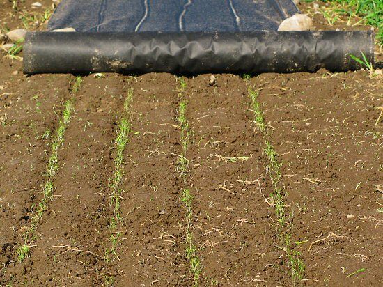 Carrot germination under landscape fabric