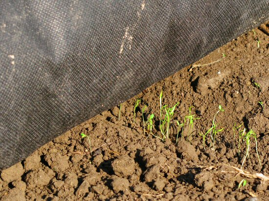 Dense carrot germination from Earthway seeder