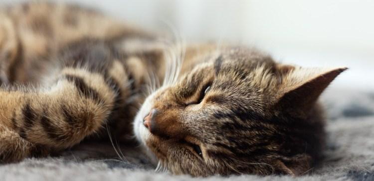 Lazy tabby cat sleeping on grey rug.