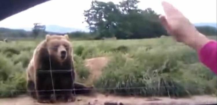 Bear waves back at waving woman in car