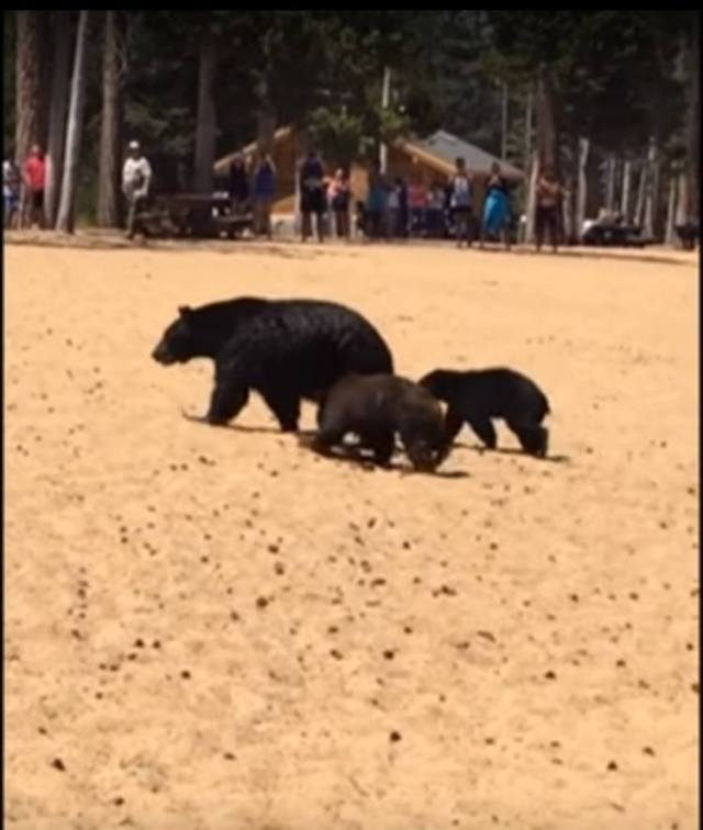 Bears wander onto beach.