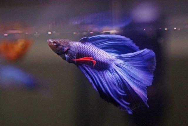 Photo of an average Betta fish.
