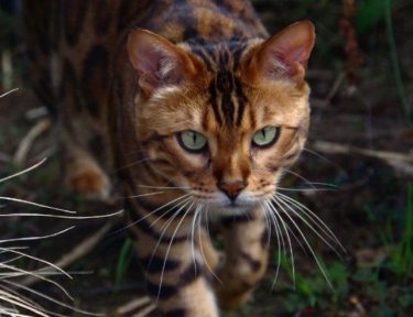 This gorgeous Bengal cat is named Thor.