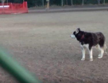 Husky on a patch of grass at dog park