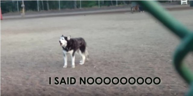 Husky at dog park with I Said No subtitle