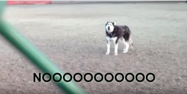 Husky at a dog park with No subtitle