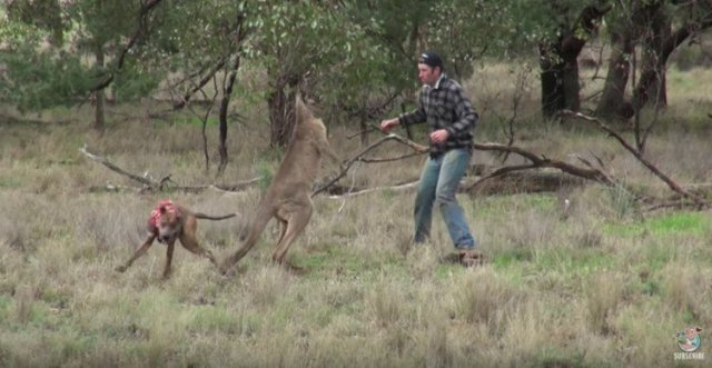 Kangaroo and Greig square off.