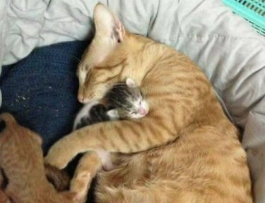 Mother cat gives birth to her litter.
