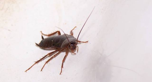 Image of roach.