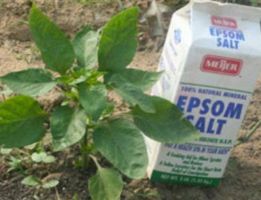 Image of Epsom salt near plant.