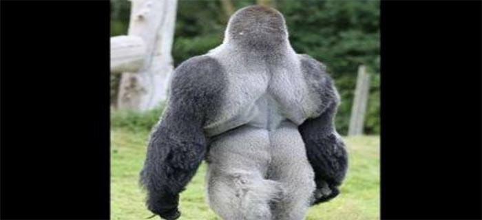 Gorilla Stands Upright