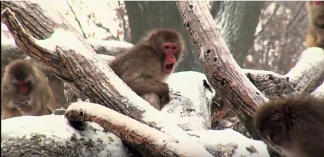 macaque in the snow