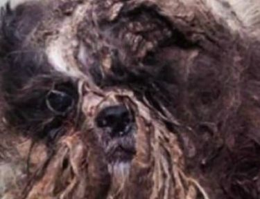 Image of matted up dog.