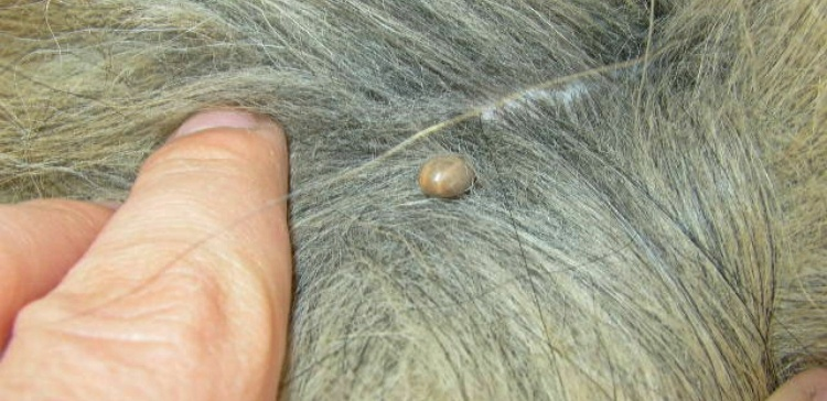 Engorged tick attached to pet in hair