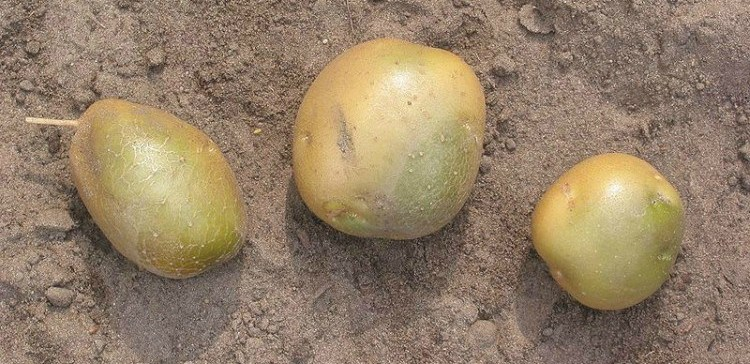 Image of green potatoes.