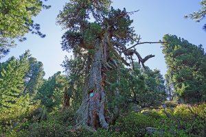 An sich ja kein unschöner Baum. Aber Vorsicht: Die Zirbe lügt! (Bild: (c) Hall-Wattens)