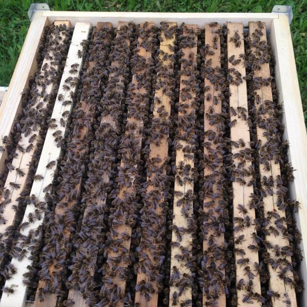10 Waben Carnica Bienenvolk