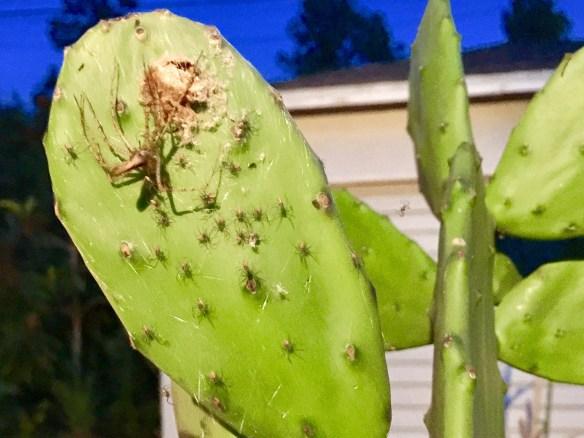 3.- Finalmente, al concluir su ciclo, la araña verde Lynx quedó inmóvil junto a su nido. Foto: José Fuentes-Salinas