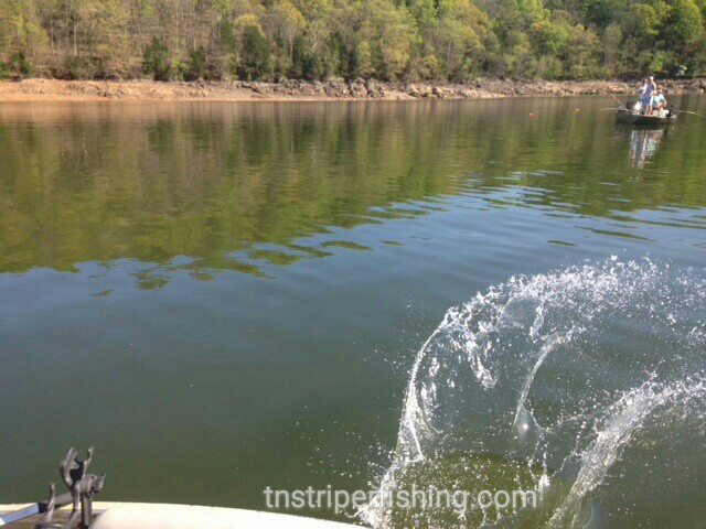 Norris lake 4 18 2016 jay 39 s striper guide service for Norris lake fishing