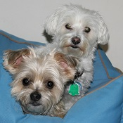 Maltese and yorkie mix boarding at my home.
