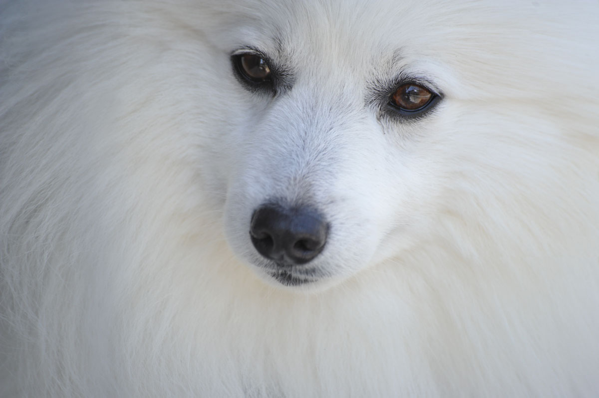 Fullsize Of Fluffy White Dog