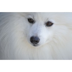 Small Crop Of Fluffy White Dog