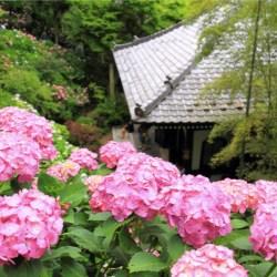 紫陽花の寺として有名な鎌倉・長谷寺にて