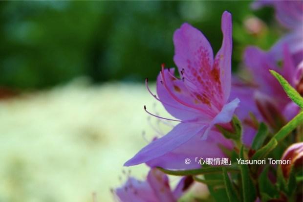 春、久保田城(秋田市)を囲むように咲き乱れるツツジ