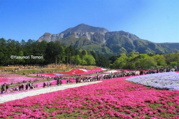見ごろを迎えた羊山公園の芝桜=埼玉県秩父市
