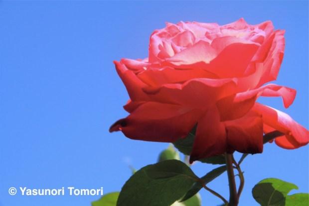 青空を背景に日差しを受けるバラの花