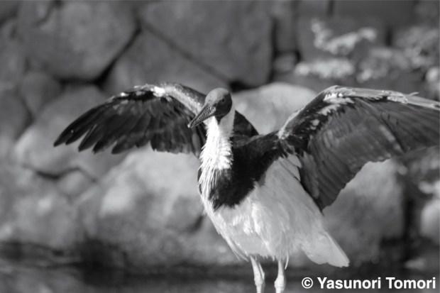 飛び立とうとするムギワラトキ