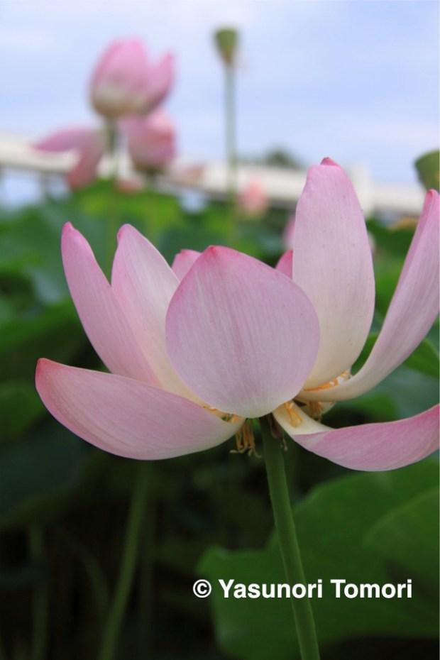 大賀ハス(古代蓮)が咲き始めている千葉公園