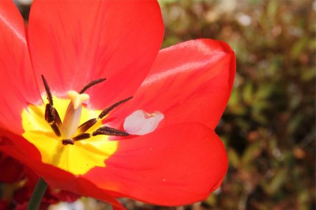 Cherry blossom petals had fallen to tulip. 散った桜の花びらがチューリップに落ちていた。
