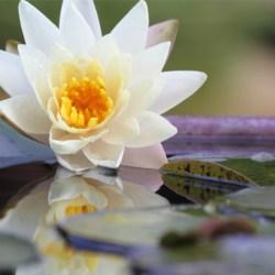 スイレン、和名をヒツジグサという。未の刻(午後2時)に咲き、夕方花を閉じる