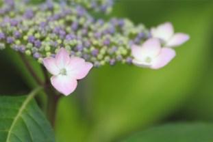 6月3日、東京でアジサイが開花した