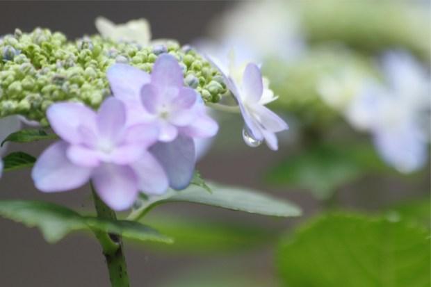 水滴が膨らむ紫陽花