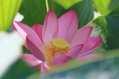 葉の隙間からピンクの美しい花がのぞく