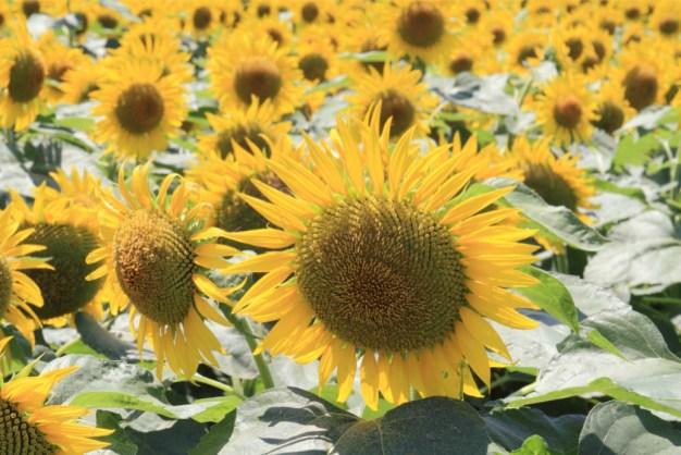 太陽の花、ひまわり
