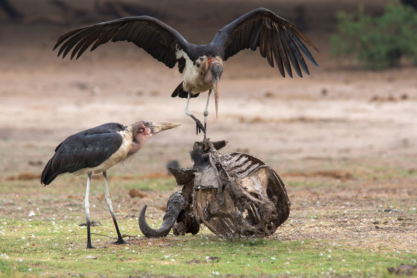 Marabou storks on carcass, Chobe