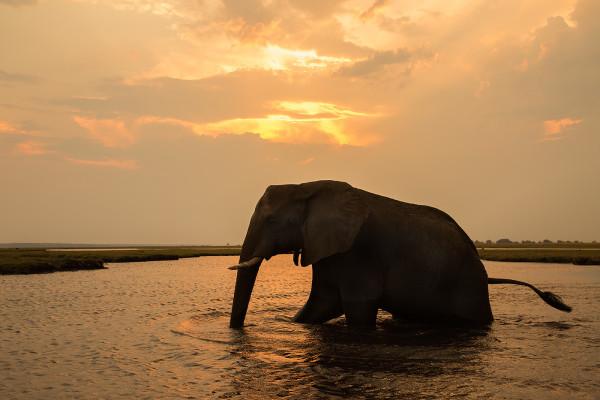 African elephant crossing Chobe river