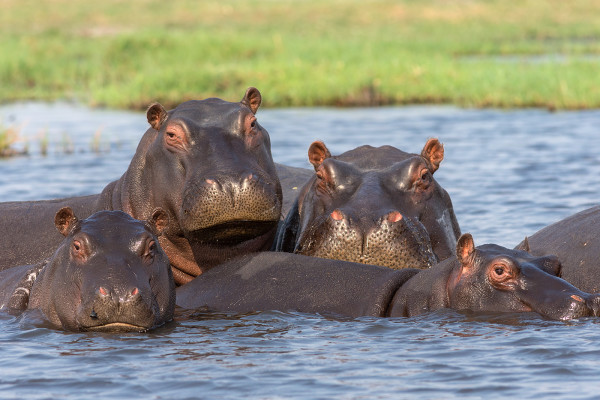 Hippopotamus pod in river, Chobe