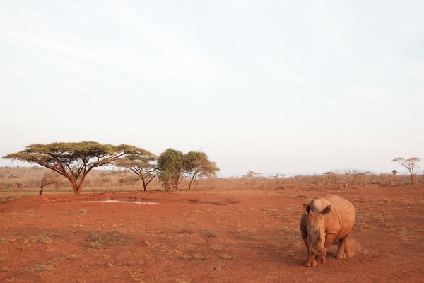 White rhino (Ceratotherium simum), Zimanga private game reserve, KwaZulu Natal, South Africa, June 2016