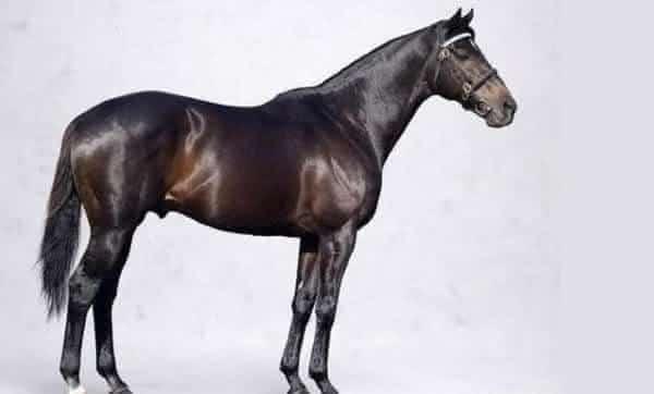 Vedovati Pisos Shareef-Dancer-entre-as-racas-de-cavalos-mais-caros-da-historia