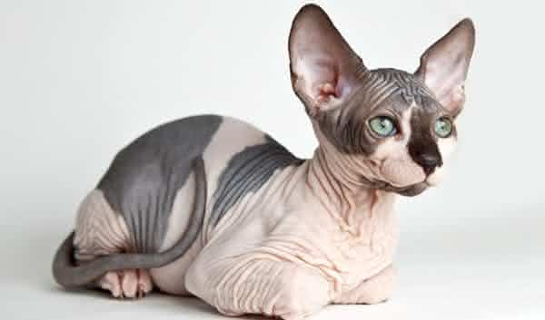 Sphynx Cats entre as racas de gatos mais caras do mundo