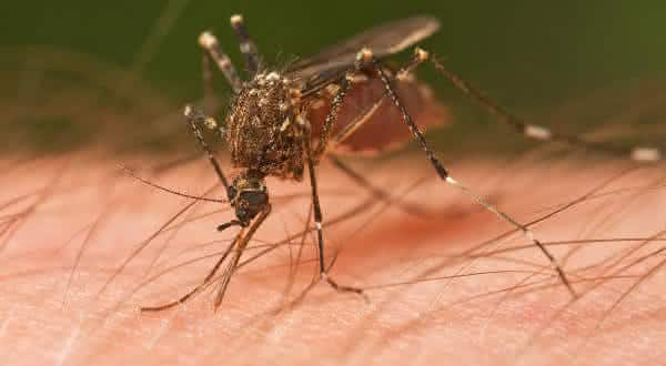 Mosquitos-entre-os-insetos-mais-perigosos-do-mundo Top 10 insetos mais perigosos do mundo Curiosidades