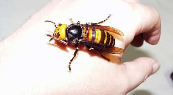Vespa-Japonesa-Gigante-entre-os-insetos-mais-perigosos-do-mundo Top 10 insetos mais perigosos do mundo Curiosidades