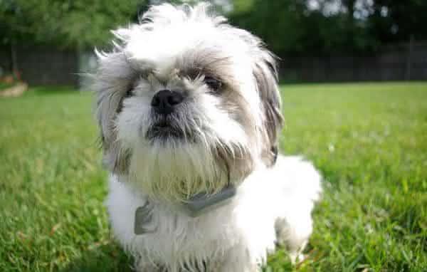 Small Breed Dog Looks Like Shi Tzu
