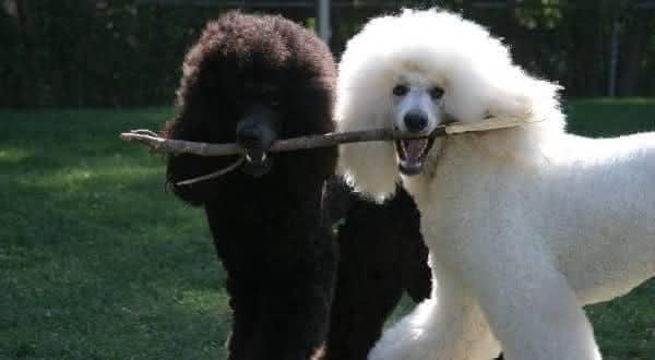Poodle Gigante entre as racas de caes mais faceis de treinar