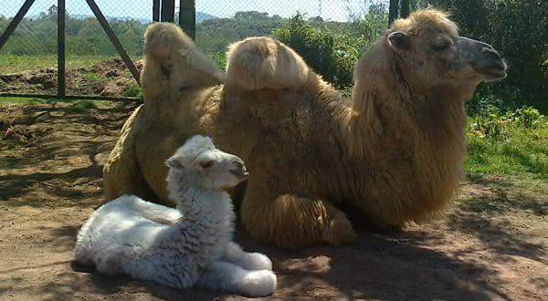 camelo entre os animais com os periodos de gestacao mais longos